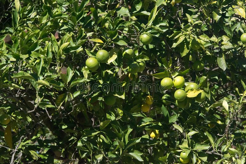 Green oranges ripen on the tree closeup stock photo