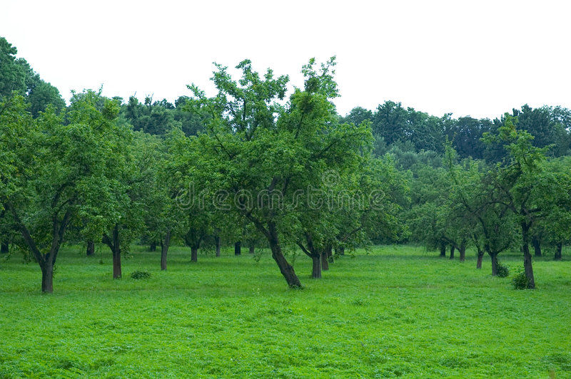 Green orchard royalty free stock photo