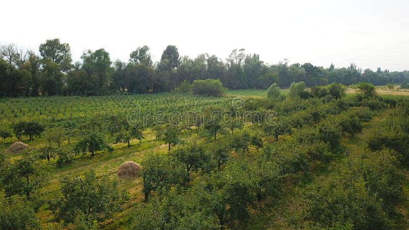 Green orchard. Trees stand in rows. Growing green grass, pear trees. royalty free stock image