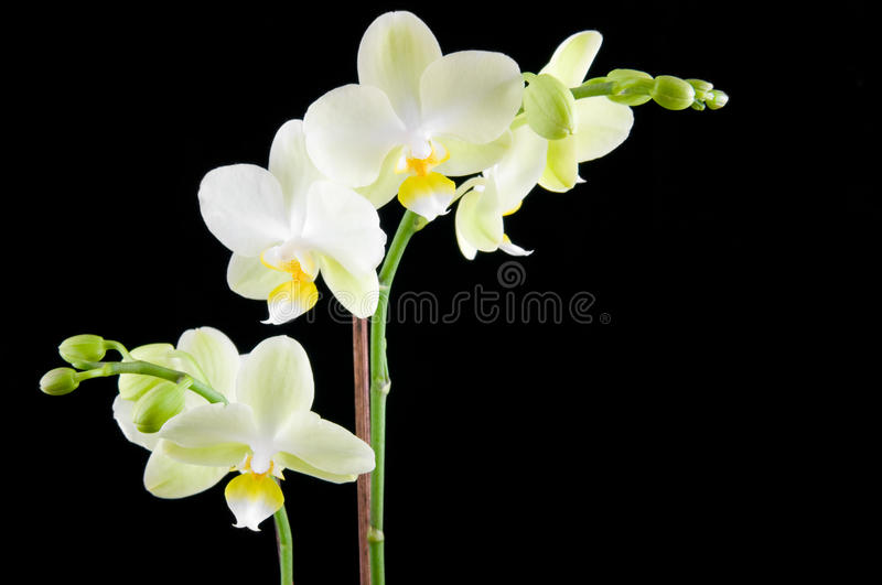 Download Green orchid stock photo. Image of bloom, flower, leaf - 11596220