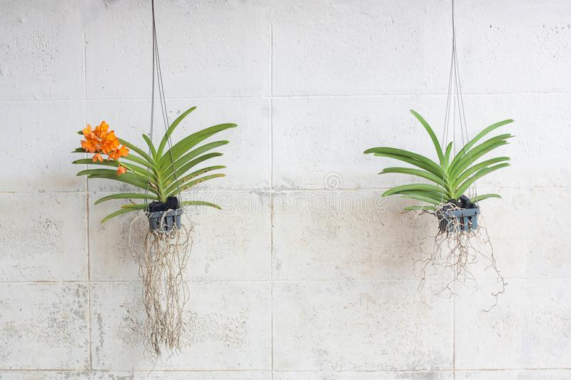 Green orchids grown in plastic pots hanging on vintage walls. stock photography