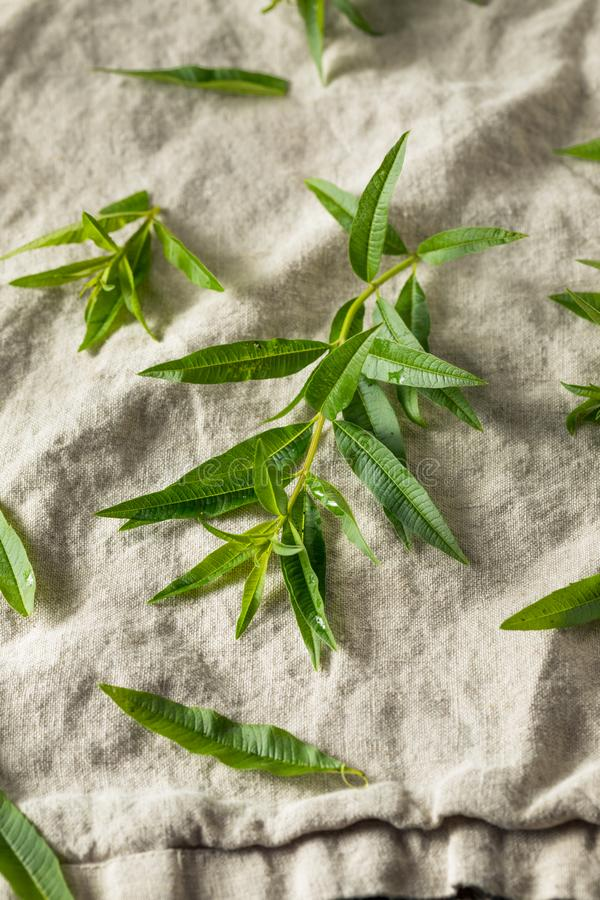 Green Organic Fresh Lemon Verbena stock photo