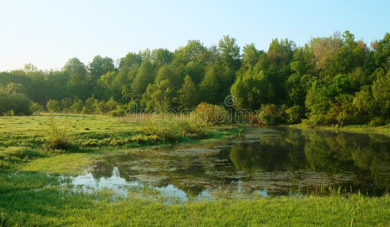 Green overgrown pond. Summer in the park royalty free stock image