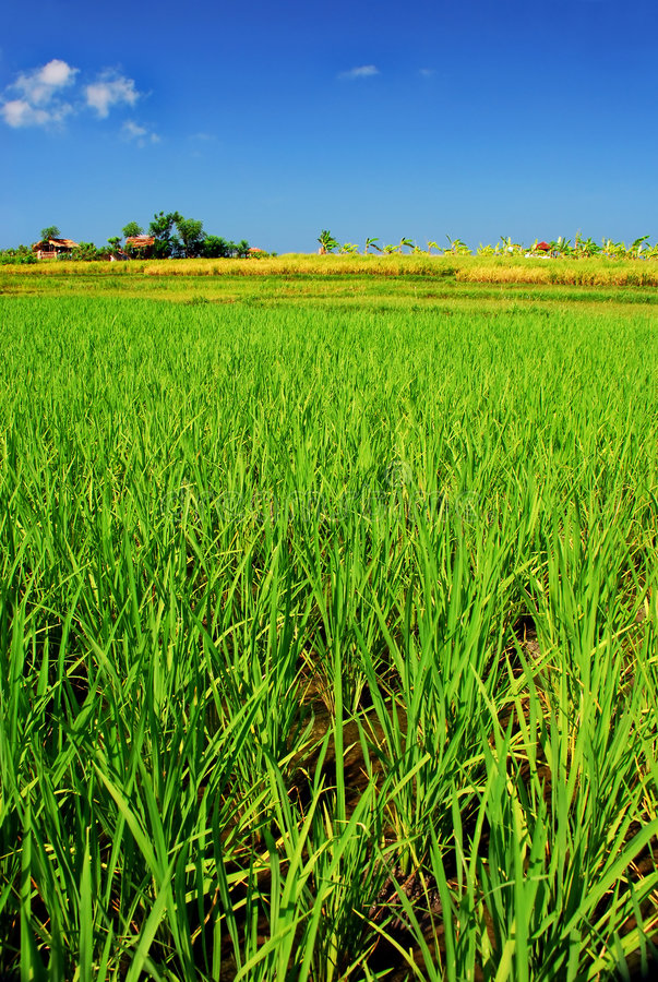 Green paddy field royalty free stock images