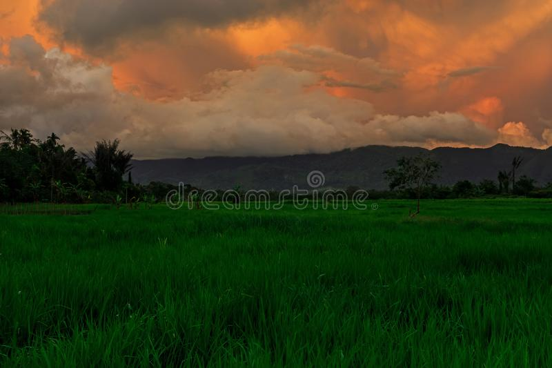Green Paddy Field With Golden Sky royalty free stock photography