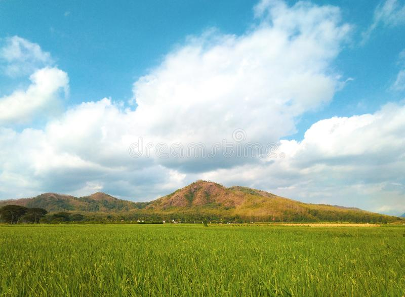 Green paddy field and mountain beneath blue skies with adorable white clouds. Nature, natural, brown, yellow, outdoor, landscape, beauty, beautiful, color royalty free stock photography