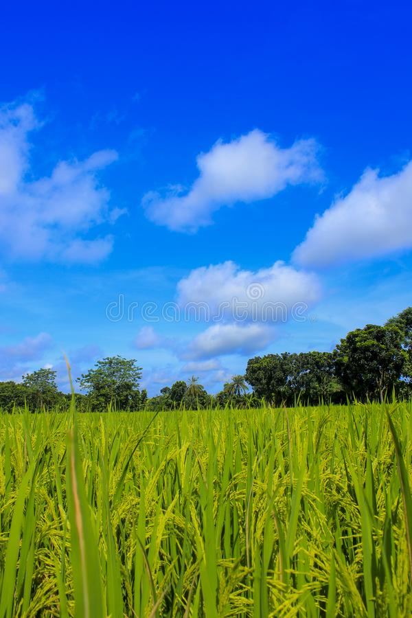 Green paddy field and nice sky of Bangladesh. stock photography