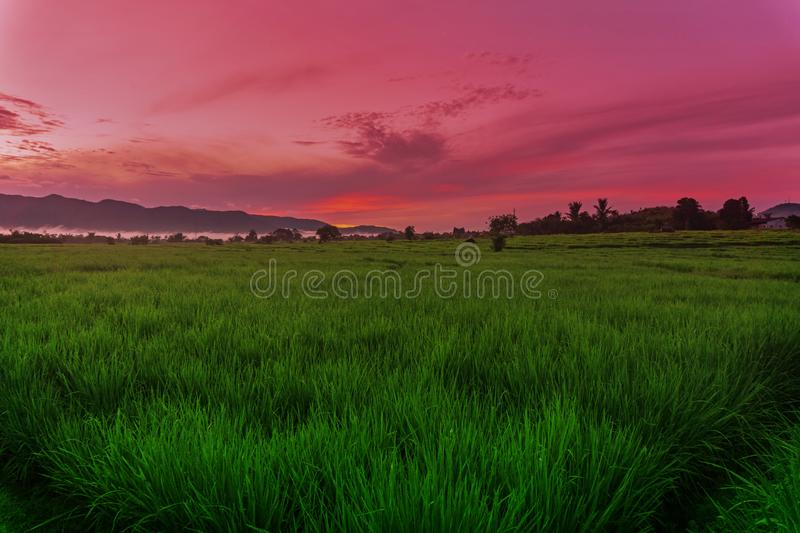 Green Paddy Field Under Sunrise royalty free stock image