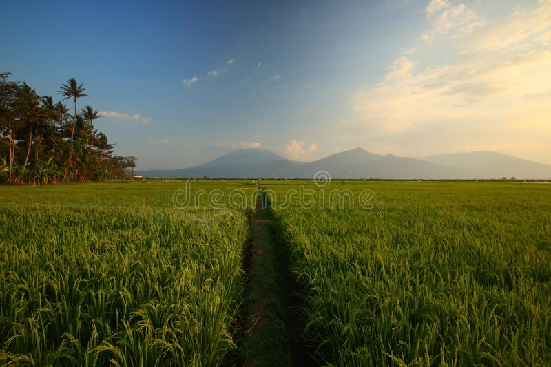 Green Paddy Fields, Portent of Good Harvest and Plant Management. Lush and beautiful Green paddy fields, Use of good plant management and controls, will bring stock image