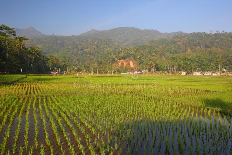 Green Paddy Fields, Portent of Good Harvest and Plant Management. Lush and beautiful Green paddy fields, Use of good plant management and controls, will bring stock photos