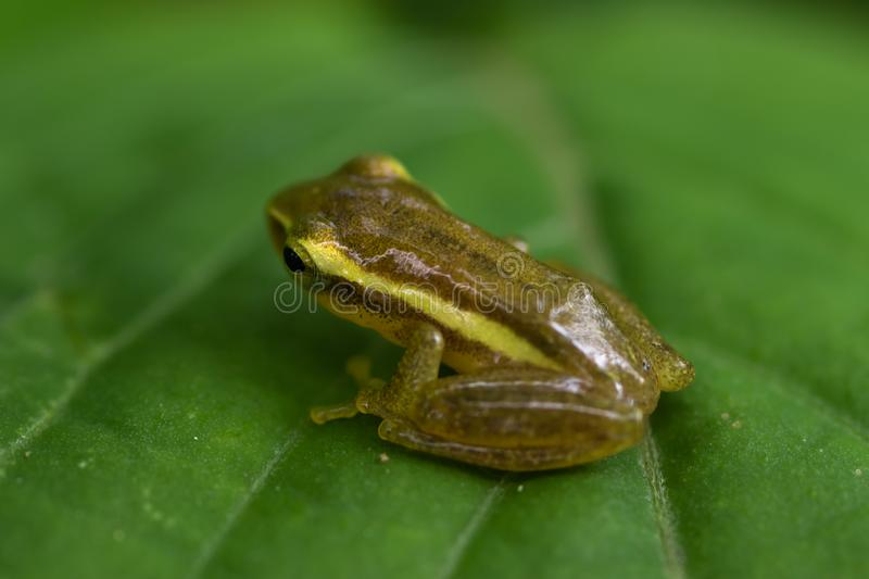 Green paddy frog. Red-eared frog, Leaf frog, Common green frog;Hylarana erythraea,  Ranidae on green leaf stock image