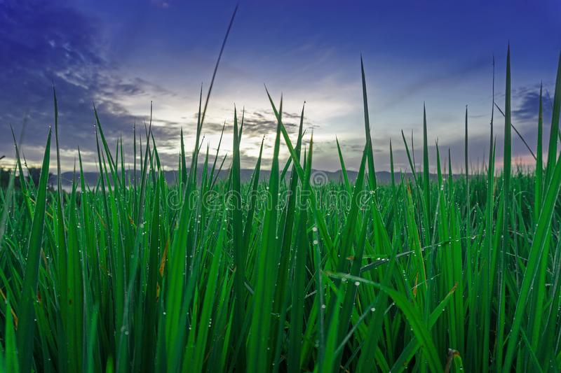 Green Paddy Grow High And Blue Sky stock image