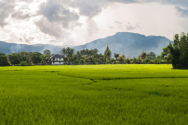 Download Green paddy rice in field stock photo. Image of detail - 26534072