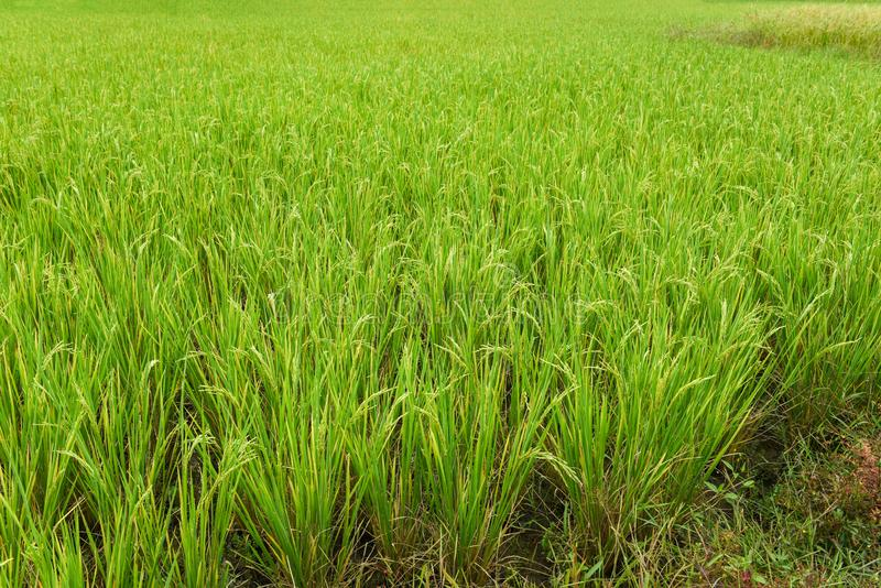 Green paddy rice field agriculture -. Green paddy rice field agriculture stock photos