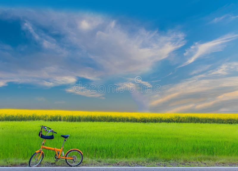 Green paddy rice field, Sunn hemp, Indian hemp, yellow plant field with the bicycle, the beautiful sky and cloud stock photography