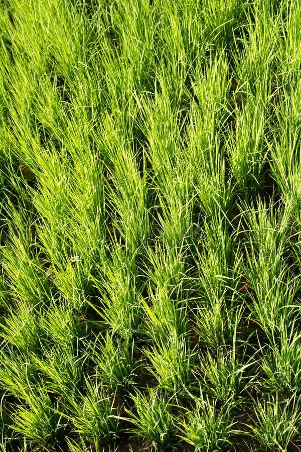 Green paddy rice stock image