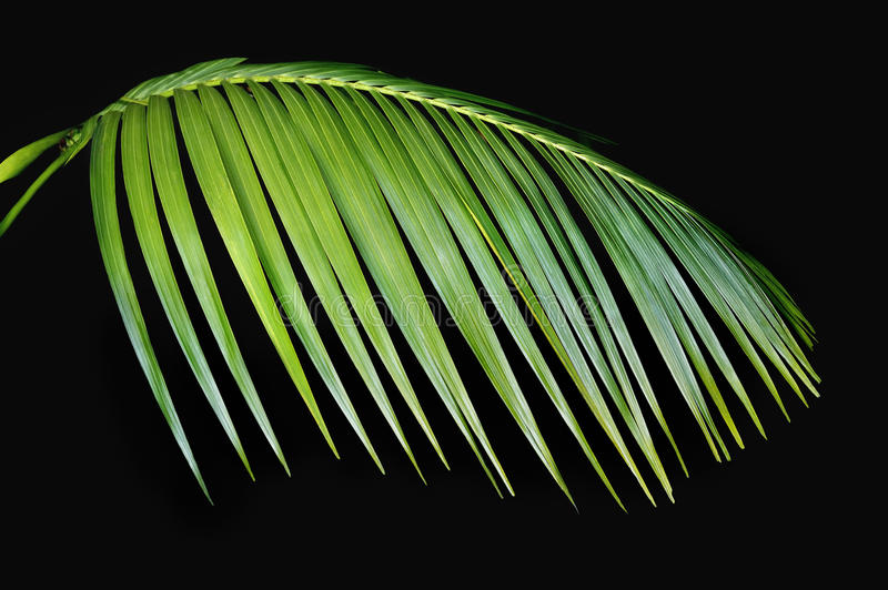 Download Green Palm Frond Agasint Black Stock Image - Image: 26450401