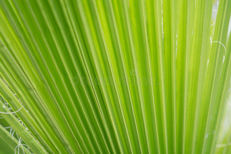 Green palm leaf background from close up palm leaf royalty free stock photography
