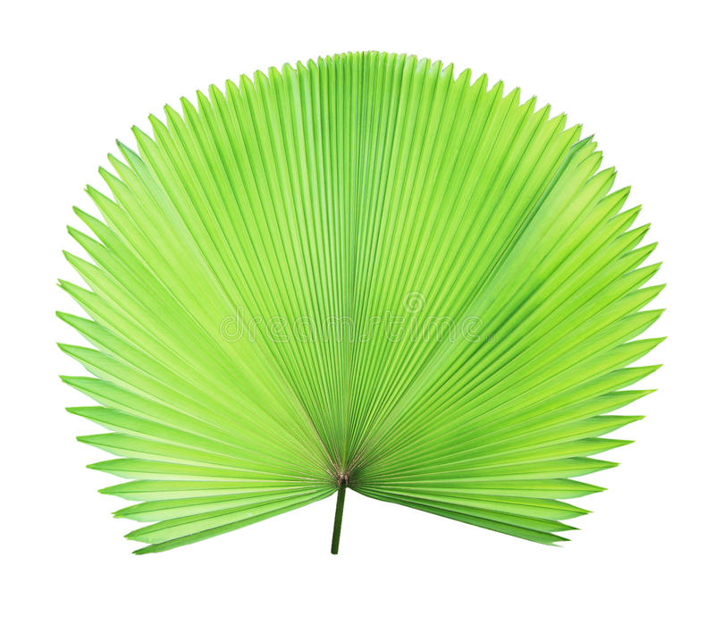 Green palm leaf isolated. On white background stock images