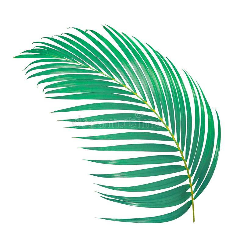 Green palm leaf isolated on white background with clipping. Path stock photography