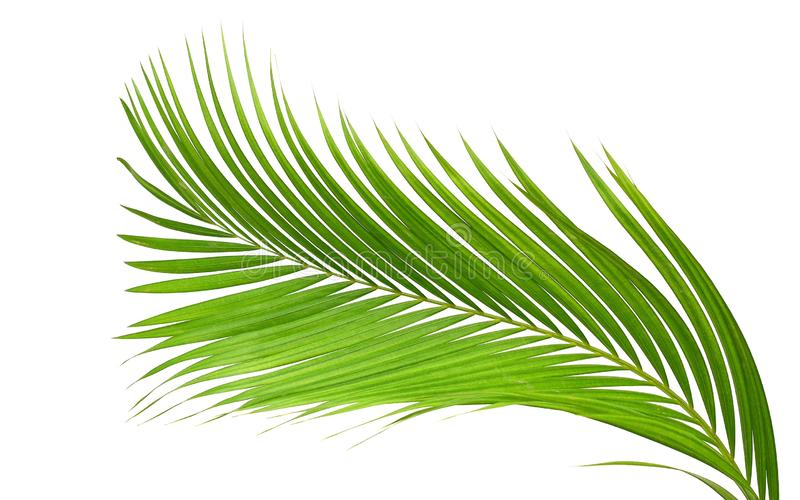 Green palm leaf isolated on white background with clipping path. stock photo