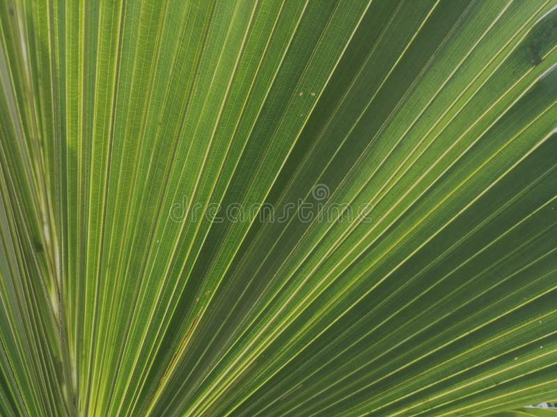 Green palm leaf texture as background. Green palm leaf texture background fan tile wonderful shades shadow lines geometry light bright stock photography