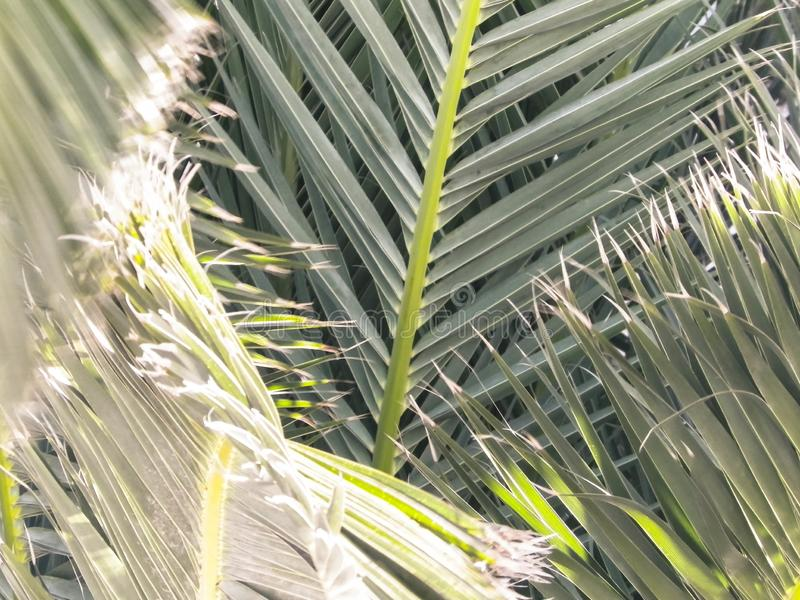 Green palm leaves as background. Close up of green palm leaves as background. Tropical climate, nature concept royalty free stock photo