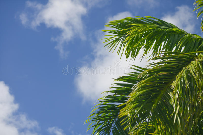 Green Palm Leaves In A Blue Sky stock photo