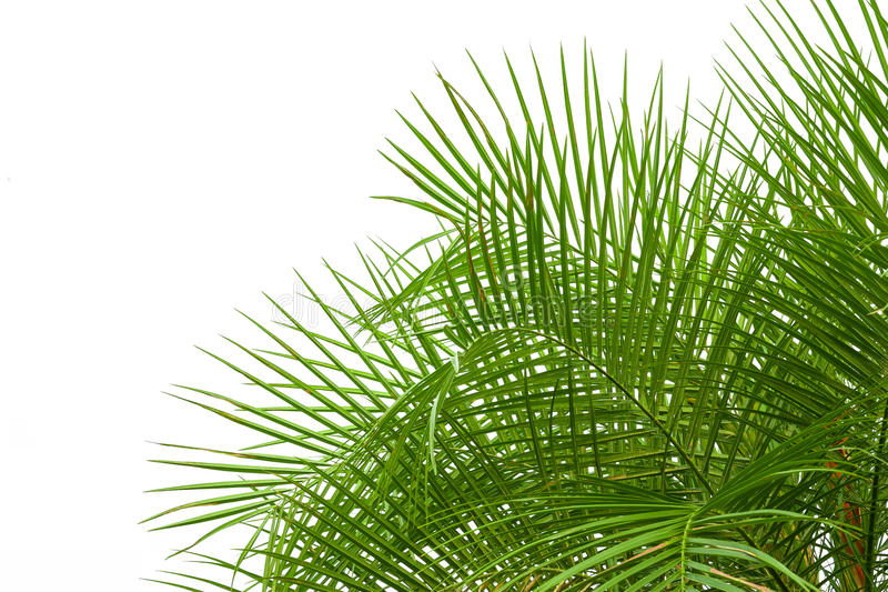 Green Palm Leaves Isolated On White Background, Clipping Path In Stock Photo