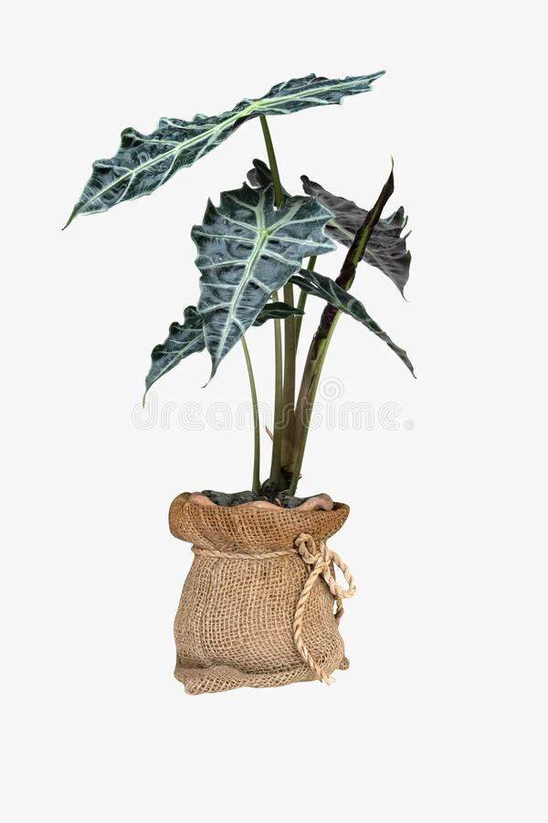 Green palm leaves pattern of Alocasia sanderiana Bull with pot for nature concept ,tropical leaf isolated on white background.  royalty free stock images