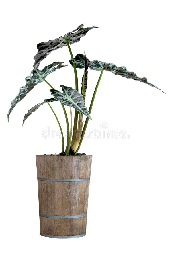 Green palm leaves pattern of Alocasia sanderiana Bull with pot for nature concept ,tropical leaf isolated on white background.  stock image