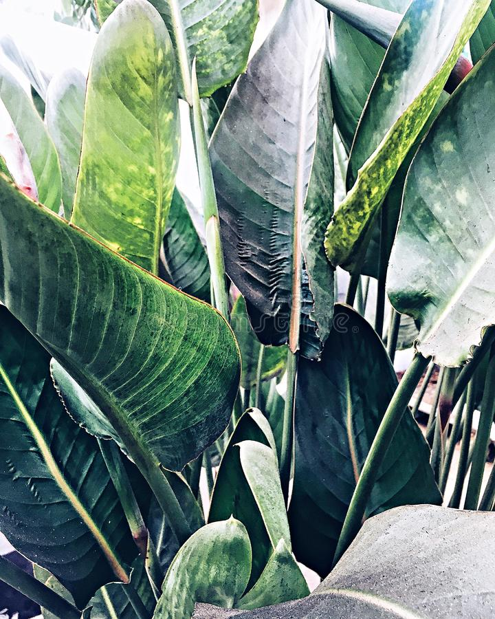 Green palm leaves, tropical plant growing in wild. Close up. Pattern, texture, background. stock images