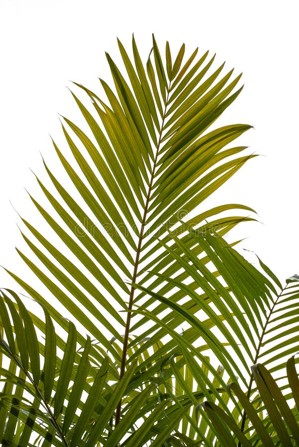 Green palm leaves on white background stock photography