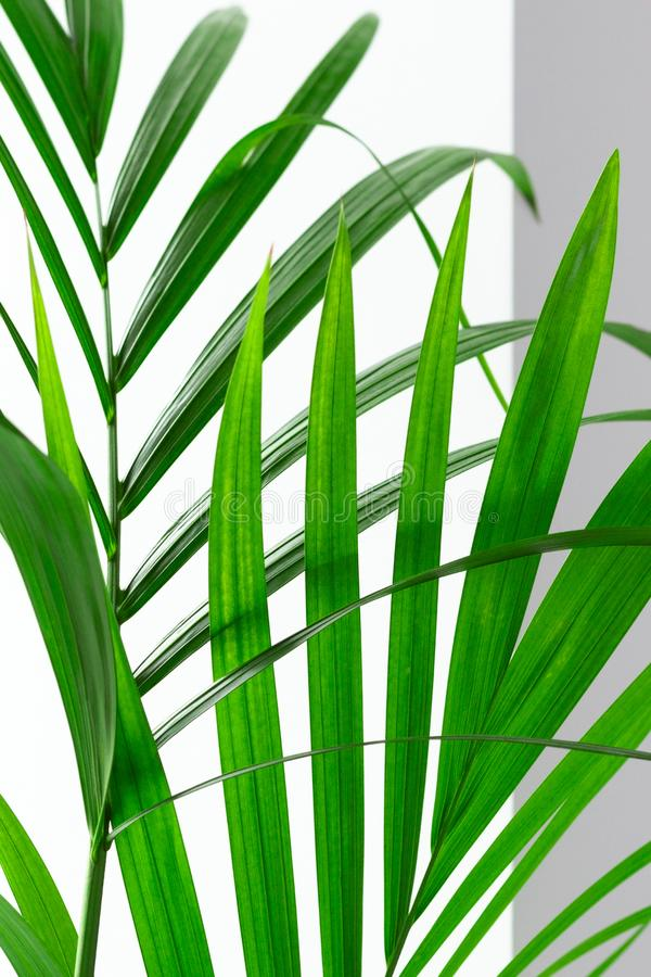 Green palm leaves on white background with selective focus. Beauty in nature vertical art backdrop. Indoor. Plants royalty free stock photography