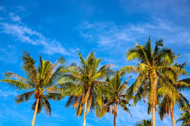 Green palm tree crown on blue sky background. Beautiful tropical nature photo. Fluffy palm leaf on wind royalty free stock image