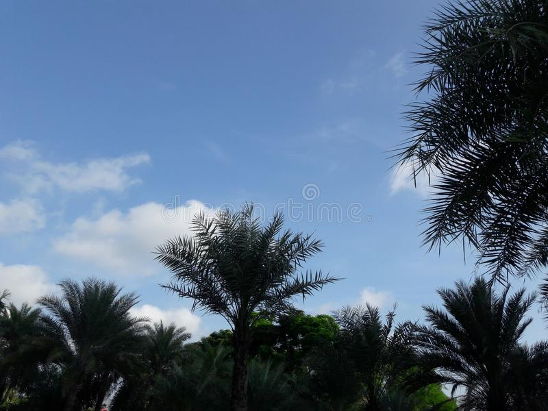 Green Palm tree in the garden under the blue sky. Green big and tall palm tree in the garden under the blue sky royalty free stock photography