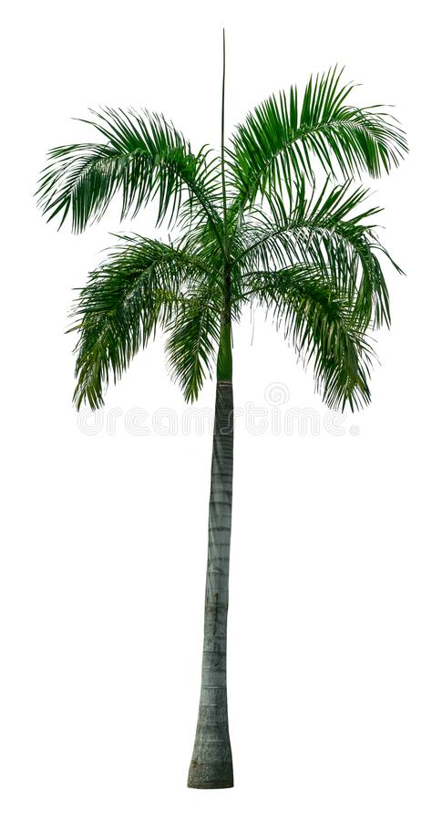 Green palm tree on white royalty free stock photography