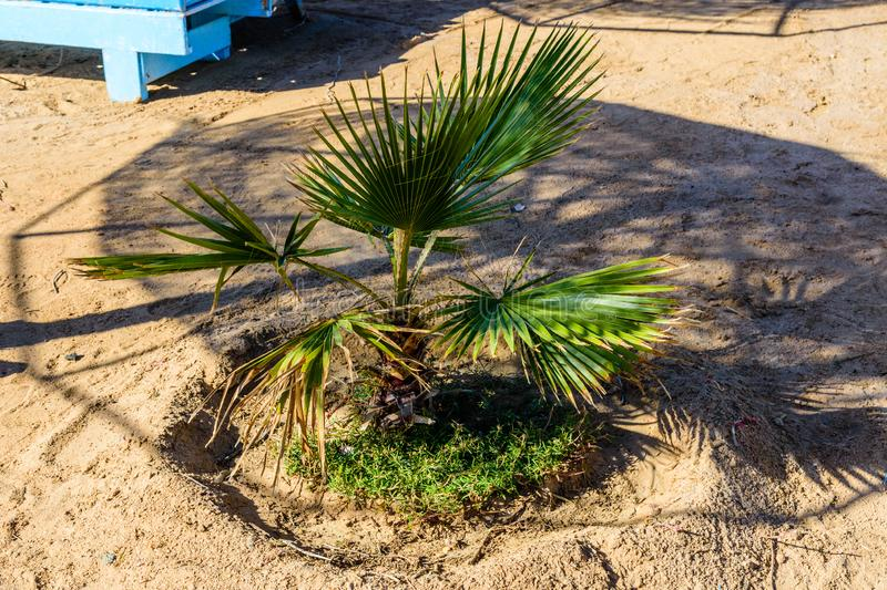 Green palm trees on beach of the Red sea. Green palm trees on beach of Red sea stock photography