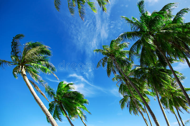 Green palm trees at blue cloudy sky. Nature landscape stock photo