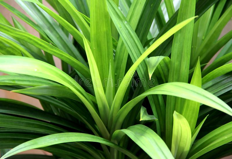 Green Pandan Leaf. Fresh and Natural stock images