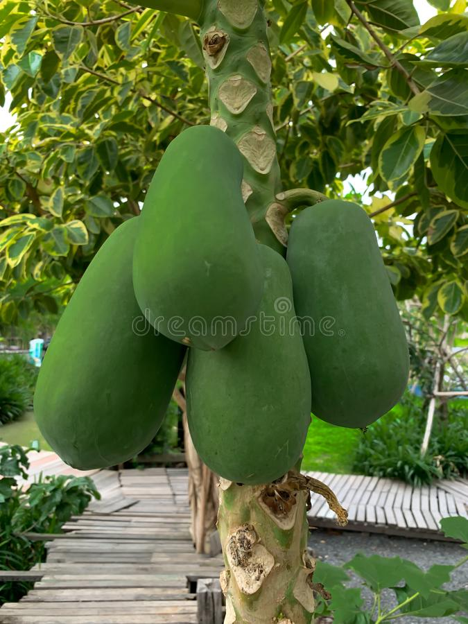 Green papaya background royalty free stock photography