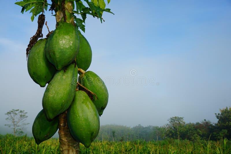 Green papaya royalty free stock photos