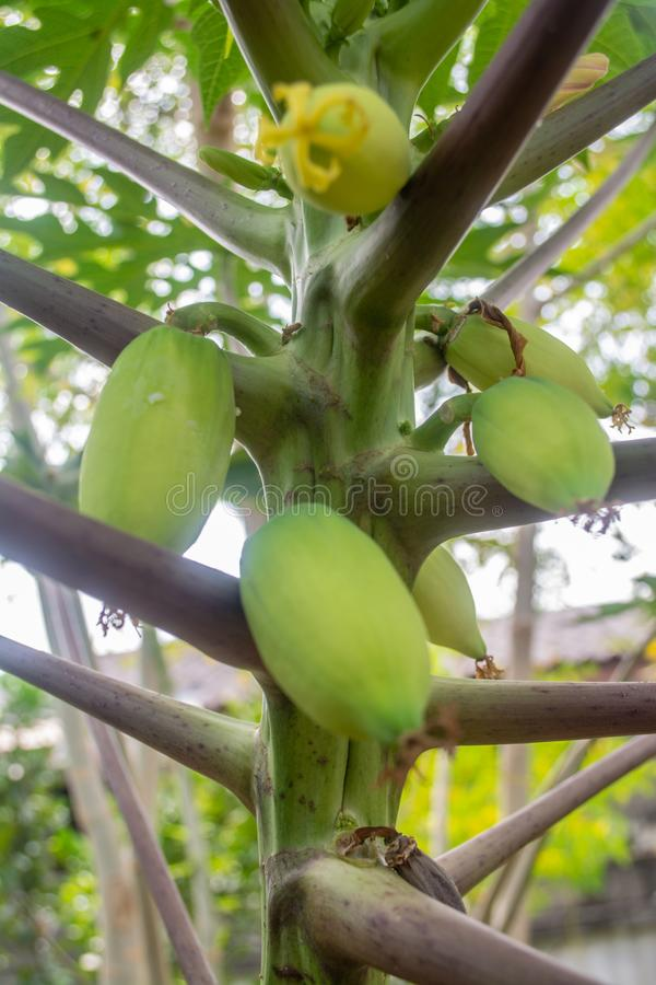 Green papaya is used in Southeast Asian cooking, both raw and cooked. In some parts of Asia, the young leaves of the papaya are steamed and eaten like spinach stock photos