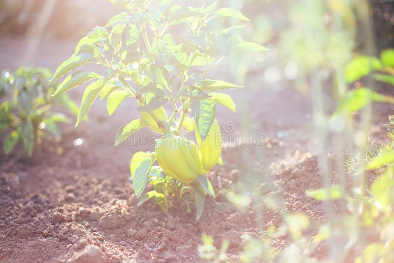 Green paprika pepper on bed ground in fencing garden. Sonlight summer time eating royalty free stock image