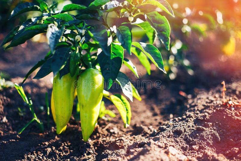 Green paprika pepper on bed ground in fencing garden. Sonlight summer time eating royalty free stock photos
