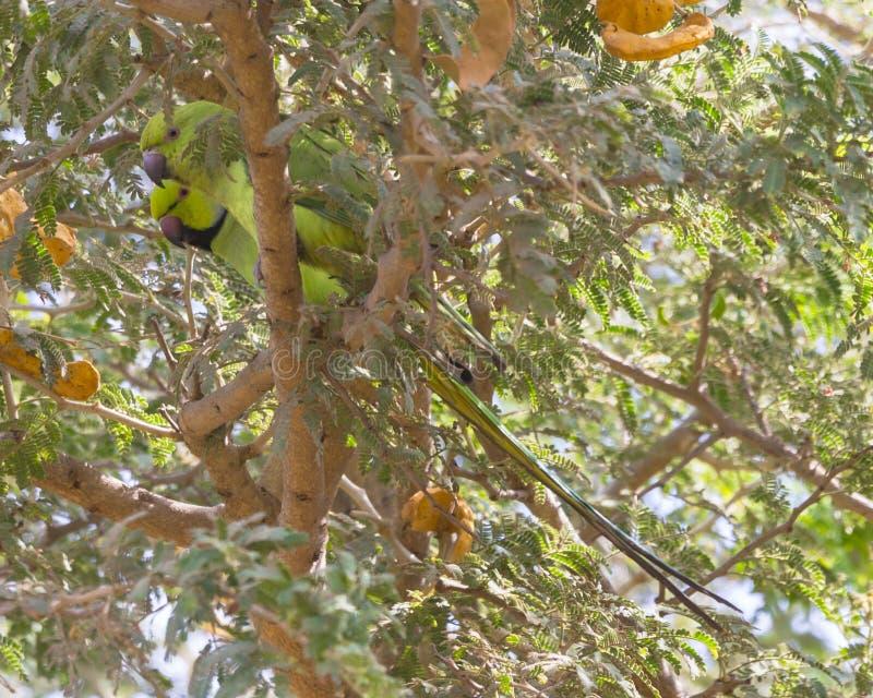 Green Parakeet royalty free stock image