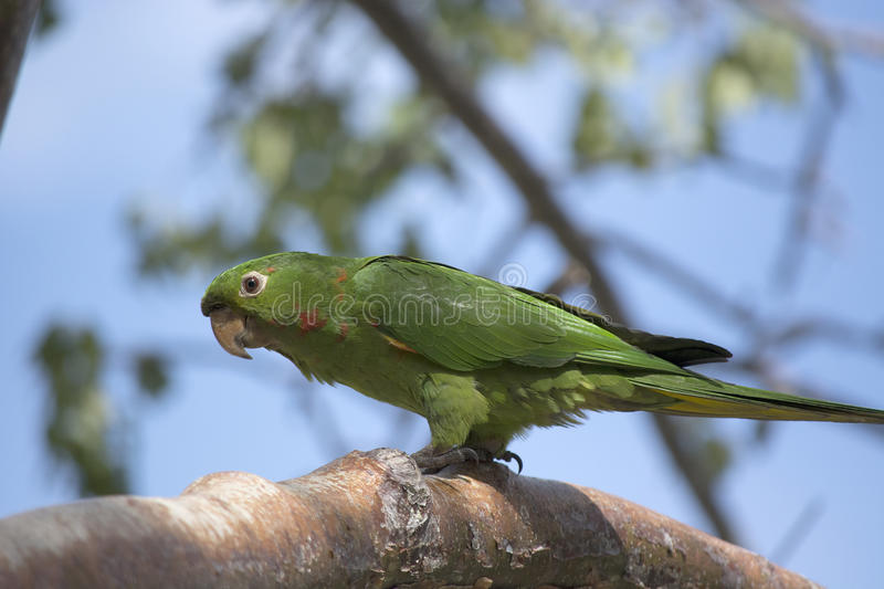 Green parakeet with red and yellow on face and wings at feeder. Parakeet with green feathers with red and yellow on the face and wings at a bird feeder at Miami stock photo