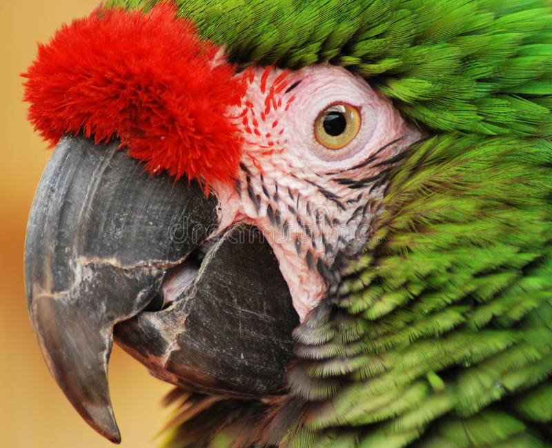 Green Parrot. Close up of a captive Green Parrot stock images