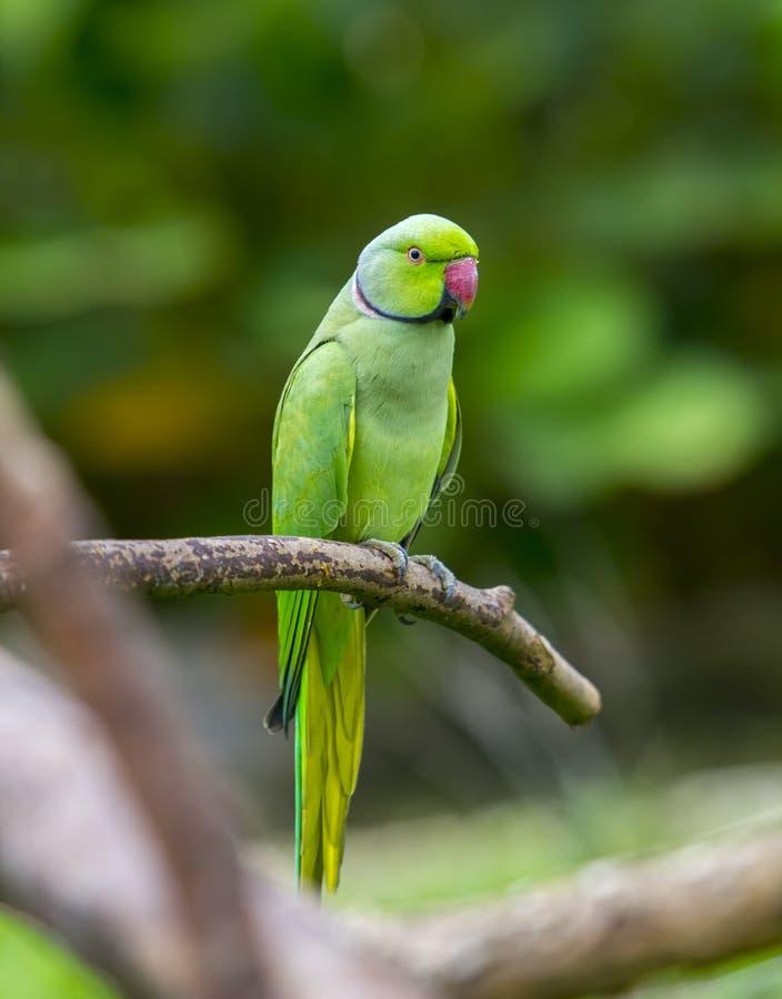 Green parrot bird. On wood branch royalty free stock photos