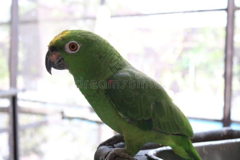 Green parrot birds Amazon paradise royalty free stock photos